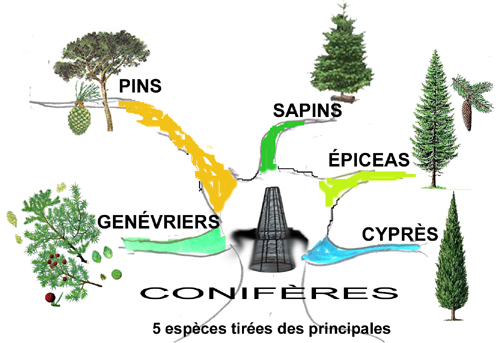 Mémoriser 5 espèces de conifères